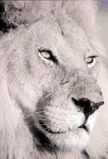 White lion face images - photo#3
