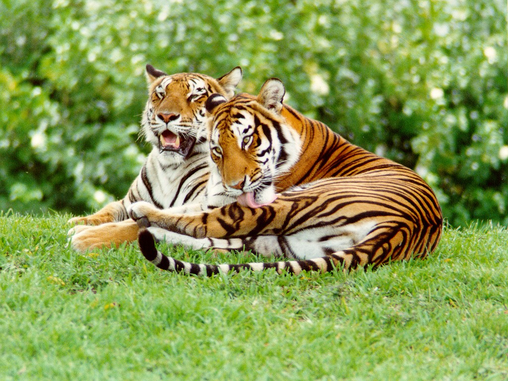 tigers of the mountain essay Endangered tigers today wild tigers exist in eastern russia essay on endangered tigers overgrazing damages the fragile mountain grasslands.