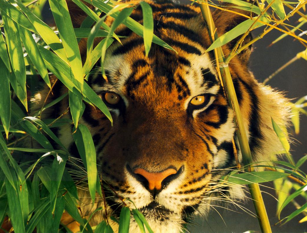 http://bigcats2.tripod.com/moretigers/Tiger-Close-Face.jpg